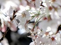 Sakura02 cv