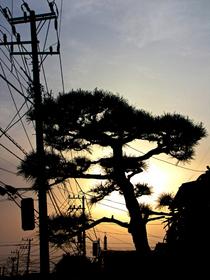 Tree sun wires cv