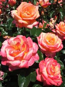 Portland roses cv