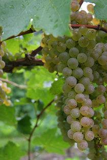 Vidal blanc 300%c3%97450  cv