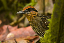 Rufous crowned antpitta db2 cv