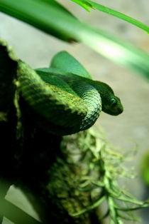 Snake fatima cv
