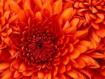 Chrysanthemum cv