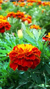 Flor de okoyama cv