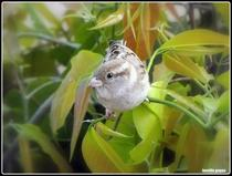 Bird cv