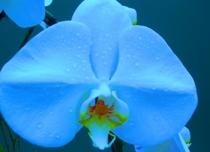 Blue orchid 1  cv