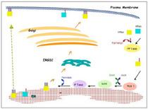 Ras exocytosis cv