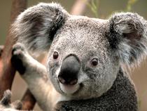 Koala cv