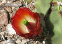 Cacti flower cv