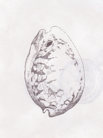 Illustrations cowrie shell guam 001 600x800  cv
