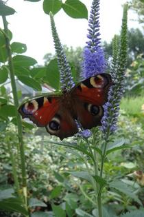 Butterfly cv