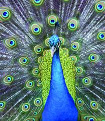 Peacock 4x5 cv