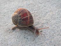 Snail cv