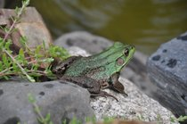 Frog cv