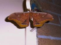 Moth 1 cv