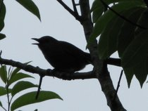 Bird sihlouette cv