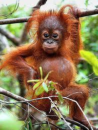 Orangutan cv