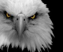 Eagle black white cv