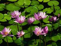 Water lilies cv