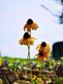 Flowers cv