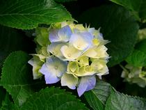 Hydrangeas cv