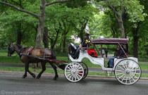 Nyc carriage horse cv