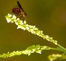 Flower bug b cv