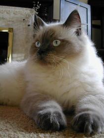 The ragdoll cat1 cv