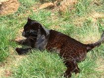 Black leopard cv