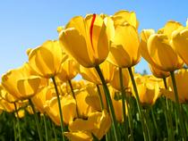 Tulips cv