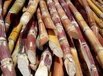 Sugarcane cv