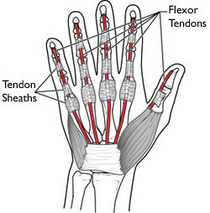 Flexor tendons cv