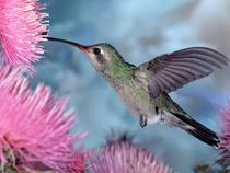 Hummingbird cv