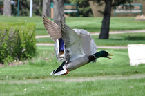 Duck cv
