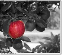 Murphy apples cv