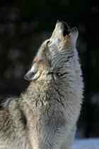 Gray wolf cv