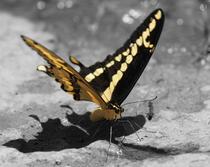 Butterfly sm cv