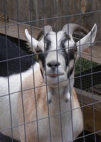 Goat cv