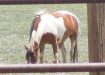 Paint horse cv