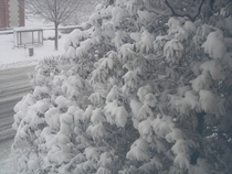 Snowtree cv