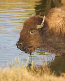 Buffalo tm cv
