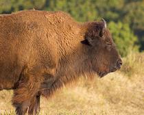 Buffalo 2 cv