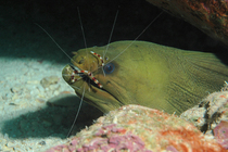 Eel floss for adorama cv