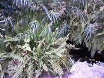 Sombrillitas en flor cv