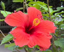 Red hibiscus cv