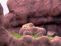 Lioness cv