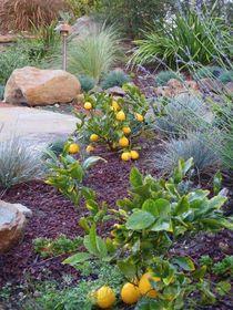 Garden bed with meyer lemon cv