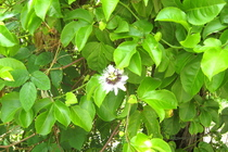 Priscilla Flowers
